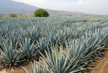 Blue Agave Farm in Mexico