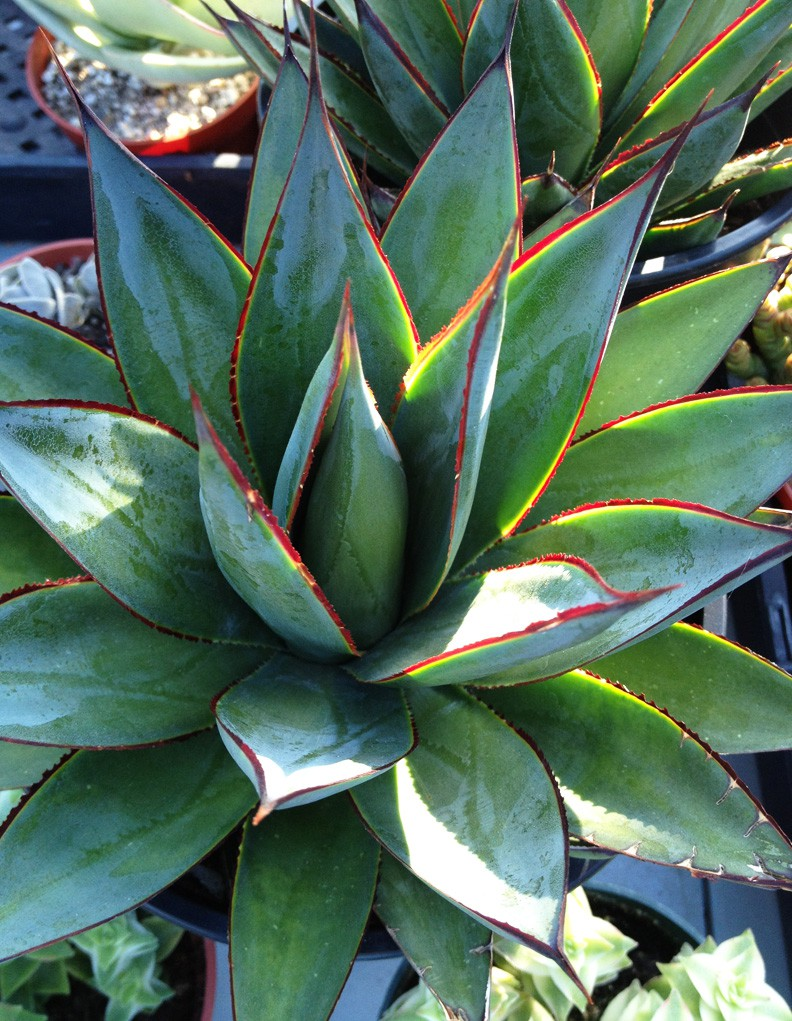 Trending Topic The Agave Matthew Murrey Design