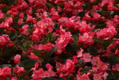 Surefire Rose Begonia
