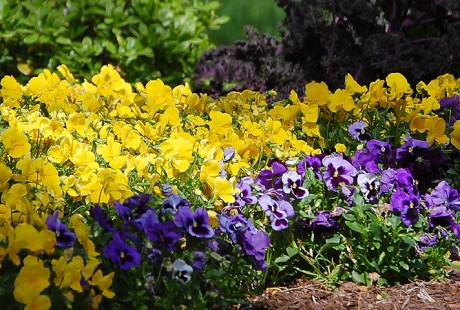 Continue planting winter annuals such as pansies, dianthus, snap dragons and chard. (For best results plant these on warmer days).