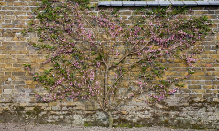 Informal Fan Espalier