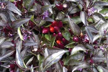 Ornamental Pepper Ember - Penn State - Fall Winter 2015-2016 - color inspirations - Eggplant