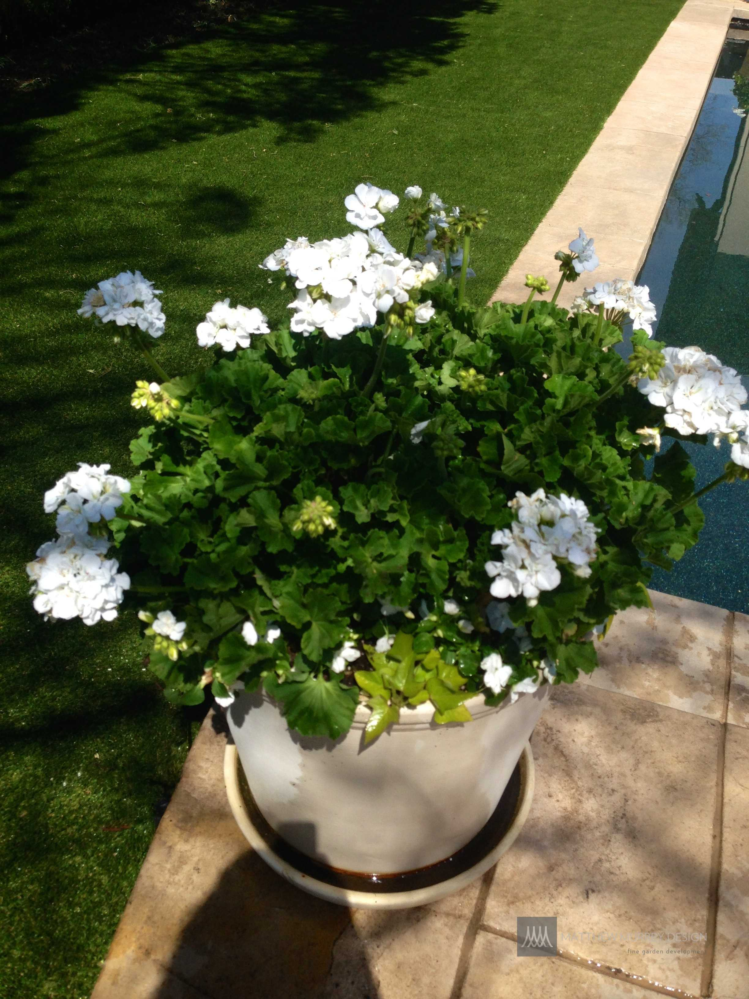 white geranium pottery arrangement