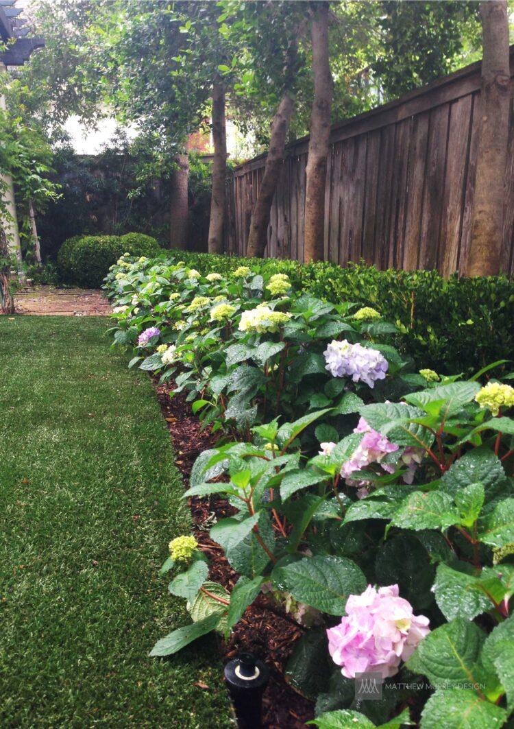 Shade Plant - Hydrangea