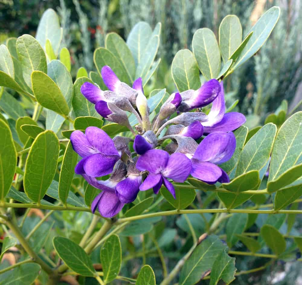 texas mountain laurel ultra violet blooms