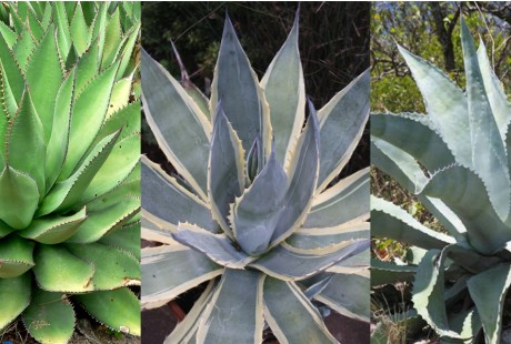Pictured left to right: Agave Shawii, Agave Americana (varigated form), Agave Americana Blue