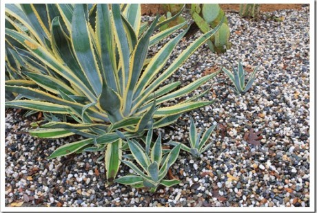 Agave offsets popping up underneath parent plant