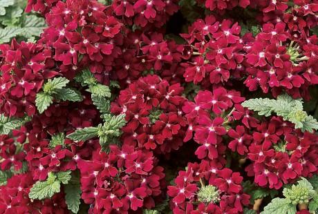 Temari® Burgundy Verbena