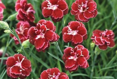 Dianthus Black Cherry Wild