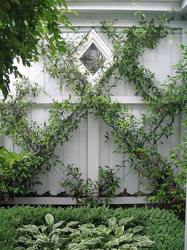 Classic espalier vine on fence