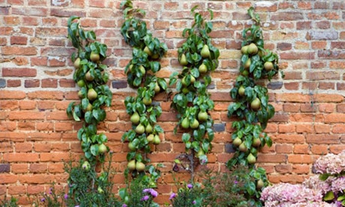 Pear Trees trained in Vertical Cordon Espalier