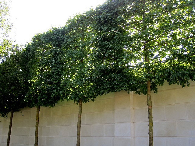 Privacy Screening - Pleached Trees and Limestone Wall