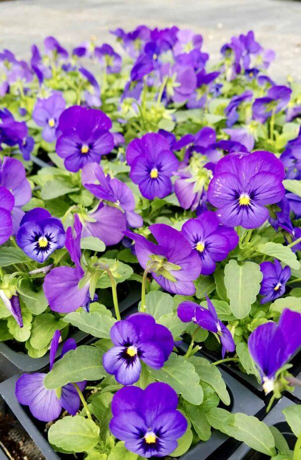 ultra violet in landscape