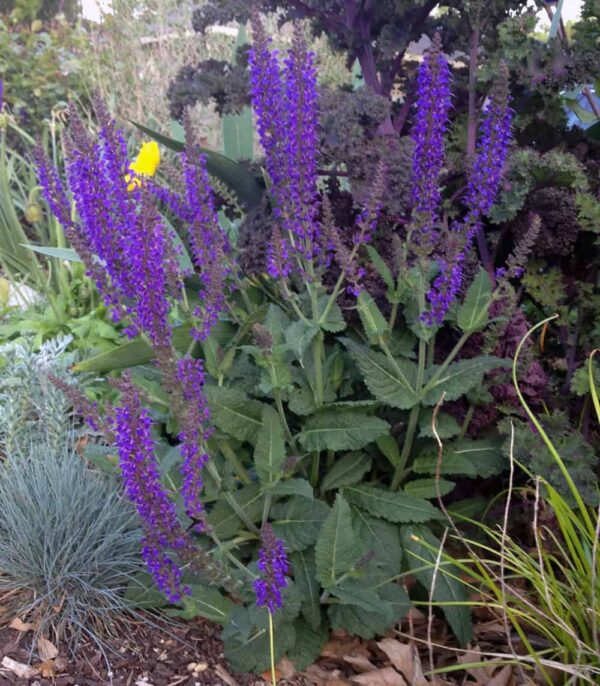 salvia ultra violet pantone color of the year